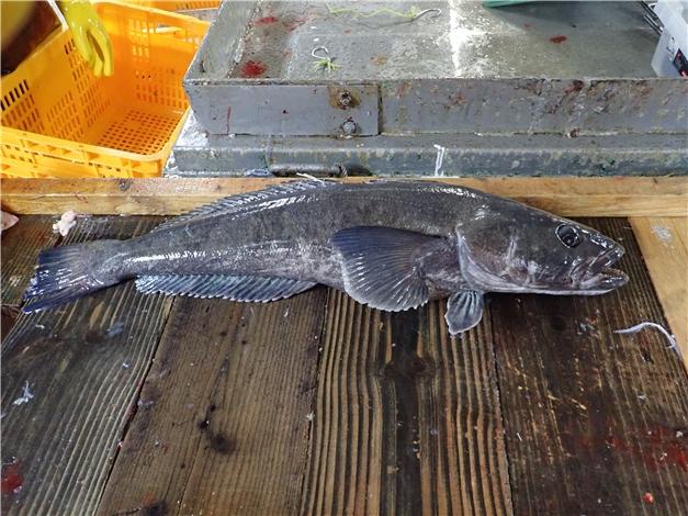 국내 연구진이 염색체 전체를 해독하는데 성공한 남극 물고기 '남극이빨고기' [사진= 선우실업 제공]