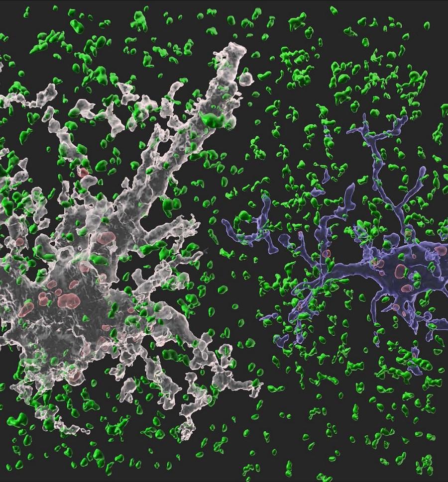 네이쳐에 수록된 이번 연구 이미지. 흰색 별아교세포와 파란색 미세아교세포가 시냅스(정상 시냅스는 녹색, 신경교세포에 의해 제거된 시냅스는 붉은색)를 제거하고 있는 모습이다 . [사진=KAIST]