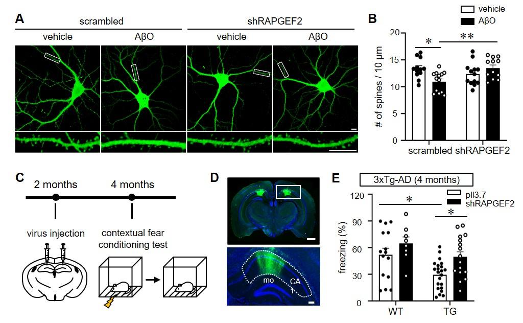 알츠하이머병마우스모델에서RAPGEF2과발현을 억제하니시냅스 소실과 기억력 감소가 회복했다 [사진=한국뇌연구원 제공]