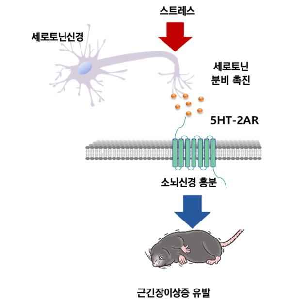 김대수 KAIST 교수팀이 세로토닌에의한근긴장이상발생경로를 규명했다.스트레스를받게되면세로토닌신경이흥분하여세로토닌분비가촉진되고세로토닌이5HT-2A세로토닌수용체에결합하면소뇌신경이흥분하여근긴장이상증을유발한다. [사진=KAIST 제공]