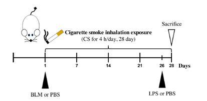 담배의 독성을 평가할 수 있는 시험법이 개발됐다.담배연기 및 폐 손상 유도물질 투여 모식도.[사진= 안전성평가연구소]